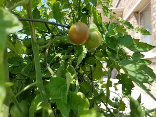 Tomatoes in ISE Garden